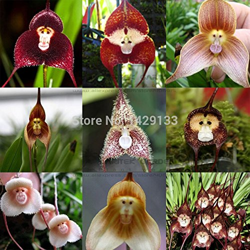 Monkey face orchids seed 200 pcs Multiple varieties Bonsai plants Seeds for home & garden Flowers pots planters ()