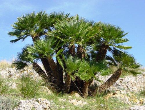 5 MEDITERRANEAN FAN PALM European Dwarf Tree Shrub Chamaerops Humilis - Palm Mediterranean Fan