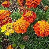 French Marigold Flower Garden Seeds - Petite Mixture - 1 Lb - Annual Flower Gardening Seeds - Tagetes patula