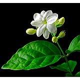 """Hirt's Arabian Tea Jasmine Plant - Maid of Orleans - Multiple Plants in 4"""" Pot"""