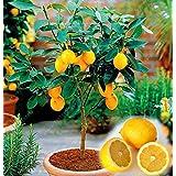 20PCS/Bag Edible Fruit Meyer Lemon Seeds, Exotic Citrus Bonsai Lemon Tree Fresh Seeds Fruit Vegetable Seeds for Home Garden