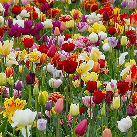 ALTA CALIDAD HOLANDESA 5 Bulbos de Narciso