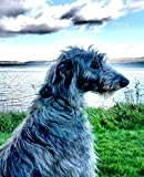 Journal: Scottish Deerhound looking out to sea