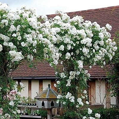 100PCS Climbing Rose Seeds Rosa Multiflora Perennial Fragrant Flower New White