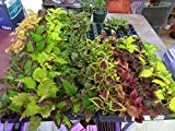 COLEUS - SUN TOLERANT MIXTURE - 50 LIVE PLANTS - PLUGS - SMALL STARTERS