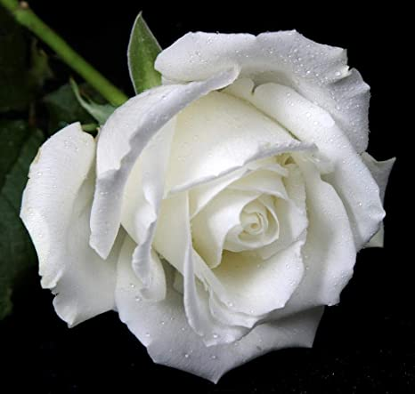 Greenly Organic White Rose Flower Seeds 30 Seeds Per Packet Seed ...