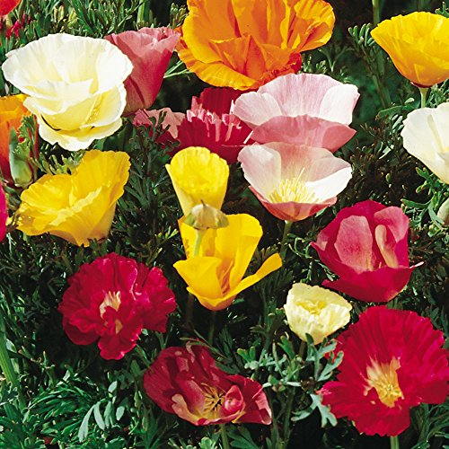 Burpee Sunset Mixed Colors Poppy Seeds 500 (Poppy Garden Grow Pot)