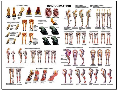 Equine Dental Anatomy Chart Horse