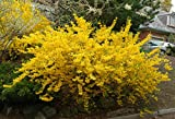 Lynwood Gold Forsythia (1-2 feet tall in full gallon containers) Fast growing with yellow blooms in the spring