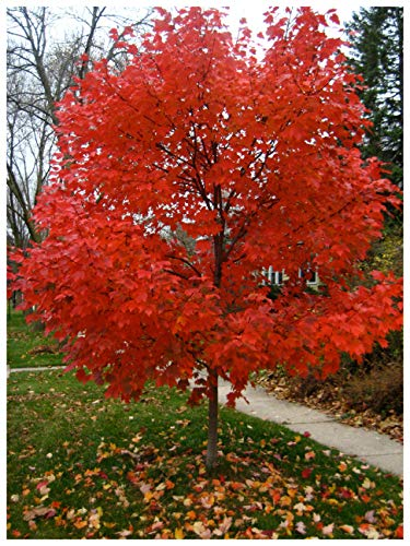 (Autumn Blaze Red Maple Tree - Acer saccharinum - Heavy Established Roots - Two Gallon Potted - 1 plant by Growers Solution)