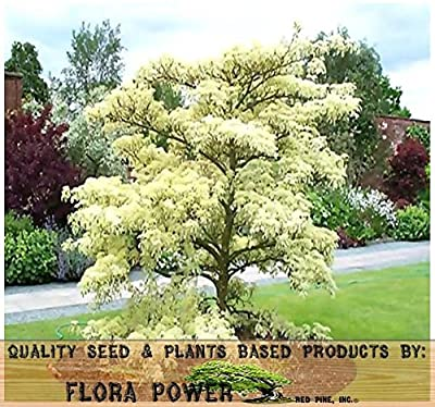 Giant Dogwood - Cornus controversa TREE Seeds - AKA wedding cake tree - Cold Hardy Down To Zone 5 - Tree Seeds from Flora Power by Red Pine, Inc.