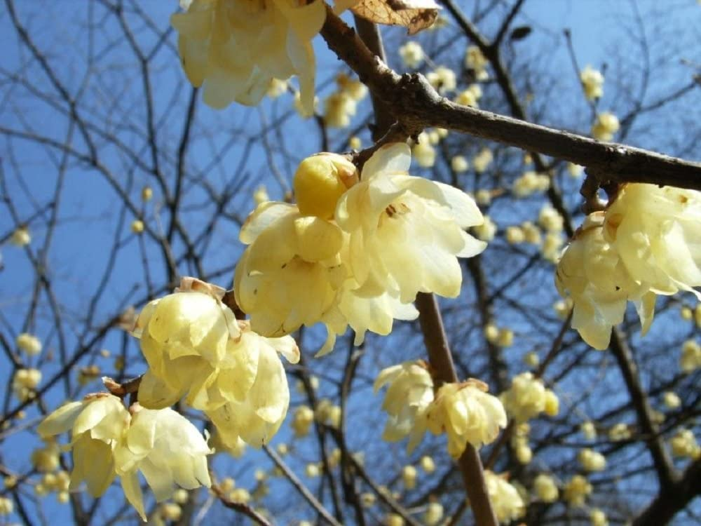 Very Fragrant *Tree bonsai* CombSH Winter sweet Chimonanthus praecox 5 seeds