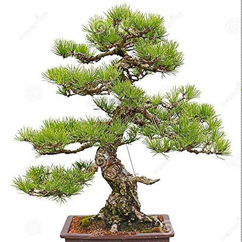 Adarl 30 pcs/ Bag Rare Cedar Tree Seeds For Home Bonsai Japan Bonsai Seeds (Cedar Tree Fertilizer)