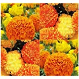 500 x African Marigold Flower Seeds Mix Crackerjack Mix - Natural Mosquito Repellent - Tagetes erecta - by MySeeds.Co