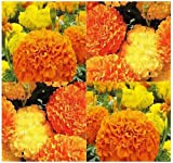 500 x AFRICAN MARIGOLD Flower Seeds MIX Crackerjack Mix - Natural Mosquito Repellent - Tagetes erecta - By MySeeds.C