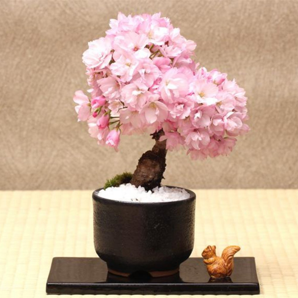 Amazon 2050pcs Bonsai Tree Japanese Sakura Seeds To Grow