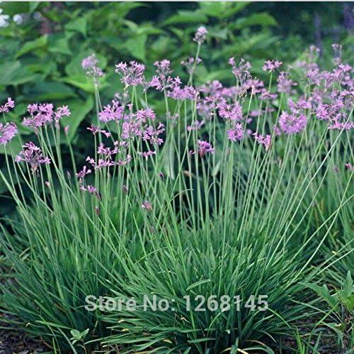 semilla real, 5pcs / lotSociety ajo (Tulbaghia violacea) semillas, patio balcón en maceta de flores jardín de su casa: Amazon.es: Jardín
