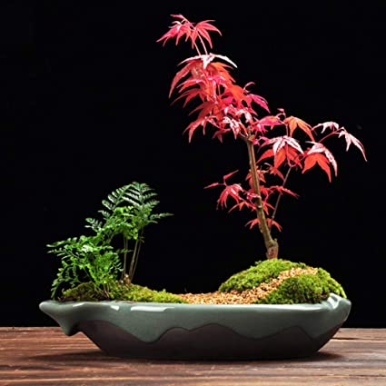 Amazoncom Japanese Red Maple Acer Palmatum Bonsai 50pcs Home