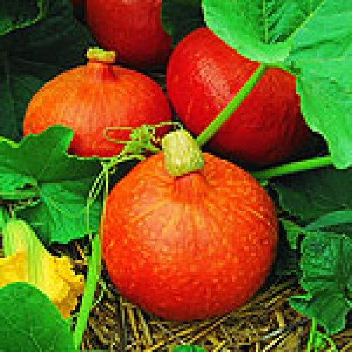 """""""NEW ITEM"""" Uchiki Kuri Winter Squash 10 Seeds Very Sweet and Nutty Flavor By Seeds and Things"""