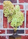 Dried Hydrangea Flower Bunch - Limelight 2-5in. heads, 3-6 stems per bunch, Hydrangea Stem Length 12-18in. -- Single Bunch