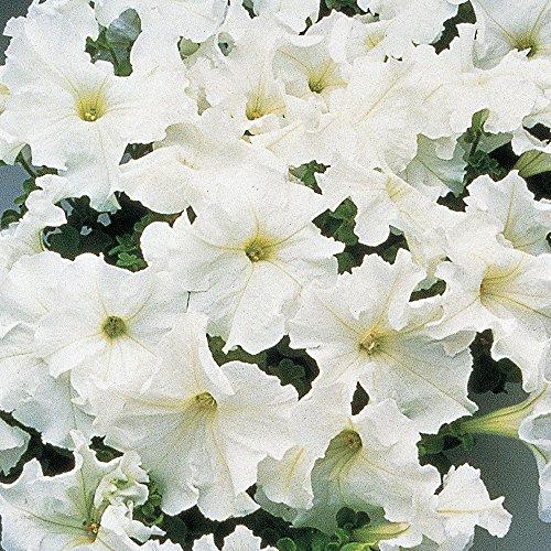 Burpee Petunia Seed - Burpee Supercascade White Petunia Seeds 50 seeds