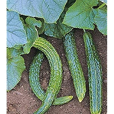 Organic Vegetable Seeds 50 Seeds Suyo Long Cucumber Seeds : Garden & Outdoor