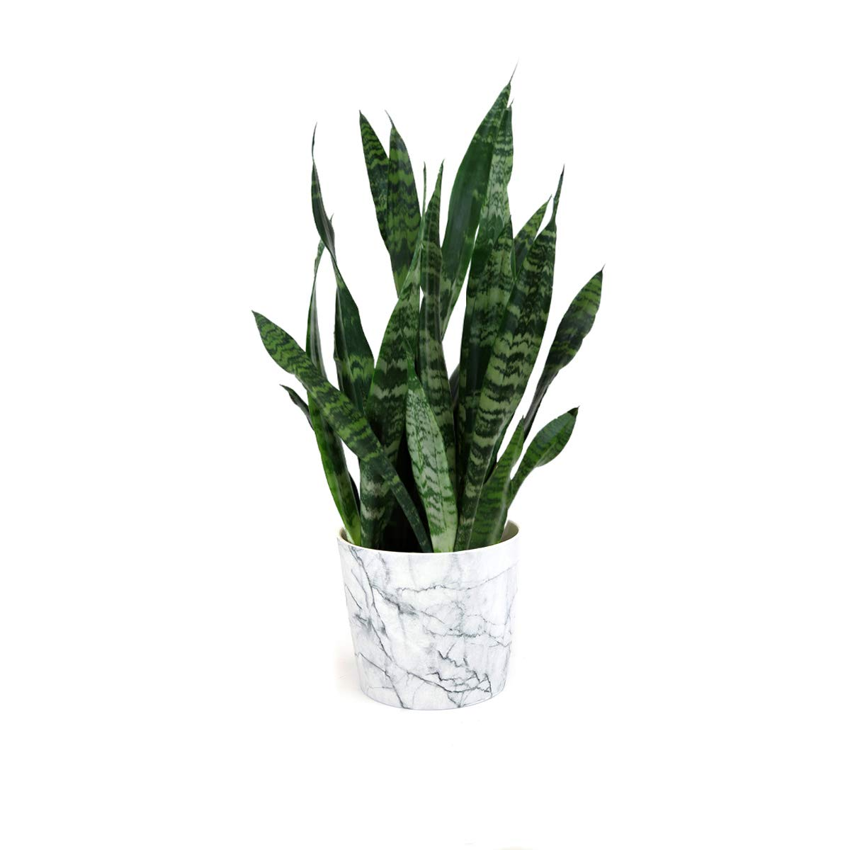 Burpee Black Coral Snake Plant with with 6'' Decorative Waterproof Ceramic Pot   Indirect Low - Light, Live Easy Care House