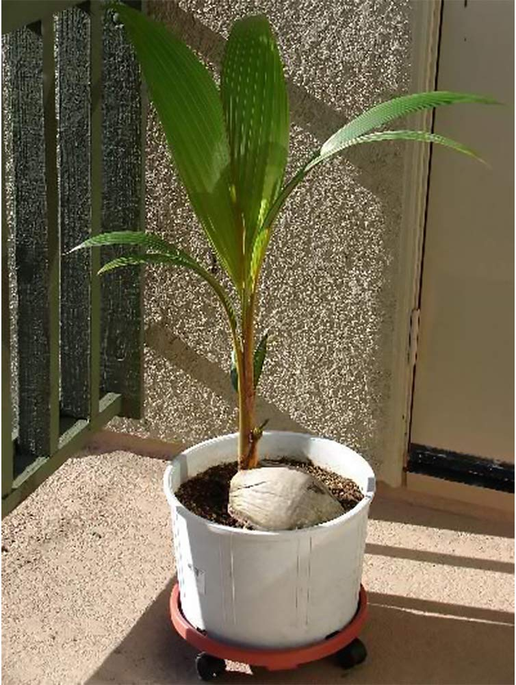 AMERICAN PLANT EXCHANGE Coconut Palm Tree Exotic Indoor/Outdoor Tropical Specimen Live Plant, 6'' 1 Gallon Pot, Cocos Nucifera by AMERICAN PLANT EXCHANGE (Image #3)