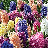 Burpee Fragrant Mix Hyacinth   5 Large Flowering Fall Bulbs for Planting, Multiple Colors