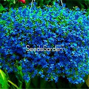 Amazoncom Sale 100 Pcsbag Lobelia Seeds Garden Indoor Bonsai
