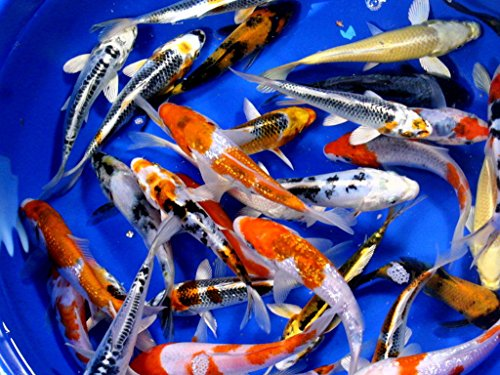 Koi - 8 Live Koi Fish for Pond, Fish Tank or Aquarium | Lot of 8 Standard Fin Grade AAA Quality Koi (4-5 inch)