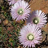 10Pcs/Bag Drosanthemum Bellum Seeds Succulent Plant Seeds Office Plant Novel Plant Seeds Air Purification Plant