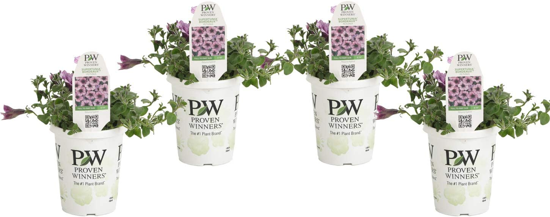 Proven Winners SUPPRW1267524 4-Pack Supertunia Bordeaux Live Plants, 4.25