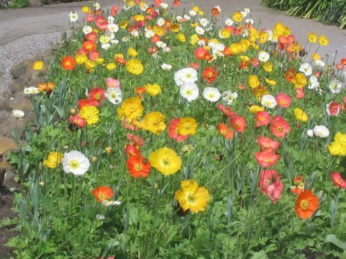 2500 MIXED COLORS ICELAND POPPY Papaver Nudicaule Flower Seeds by Seedville