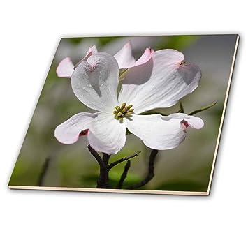 Amazon 3drose Ps Flowers White Dogwood Flower 4 Inch