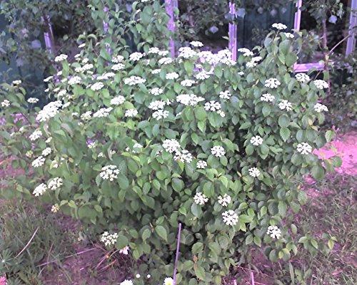 4 Arrowood Viburnum (Viburnum dentatum) 1-2' seedlings