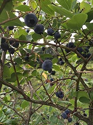 15 Wild Blueberry Seeds