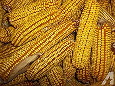 BULK 5# (Approx. 6800) - Reid's Yellow Dent Corn Seeds - Non-Gmo - Combined Shipping
