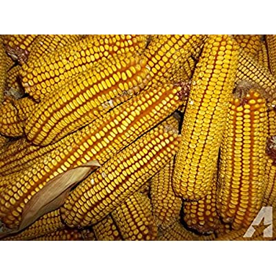 BULK 1# (Approx. 1360) - Reid's Yellow Dent Corn Seeds - Non-Gmo - Combined Shipping : Garden & Outdoor