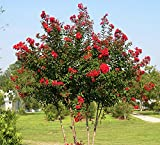 Red Rocket Crape Myrtle Tree - Live Plant - 4 Inch Pot