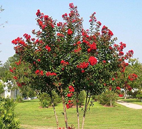 tle Tree - Live Plant - 4 Inch Pot ()