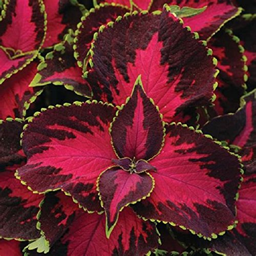 Coleus Chocolate Covered Cherry Flower Seeds (320 - Cherry 320