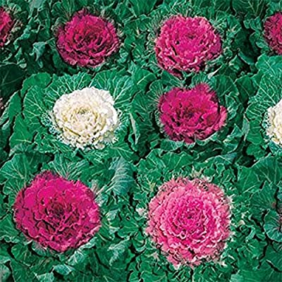 Ornamental Cabbage- 50 Seeds