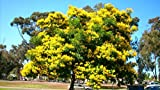 10 Seeds - Peltophorum pterocarpum - Yellow Flame Tree - Yellow Poinciana