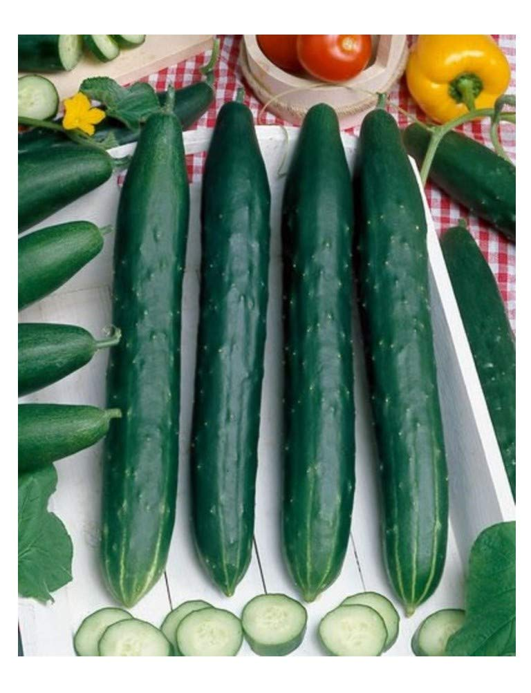 CUCUMBER - EARLY SPRING BURPLESS F1-65 FINEST SEEDS Premier Seeds Direct CUC09