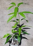"24"" (or taller) Haden Mango Tree, Sweet, Smooth, and Popular!"