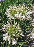 TROPICA - Schmucklilie / Kaplilie (Agapanthus praecox syn. umbellatus) - 30 Samen