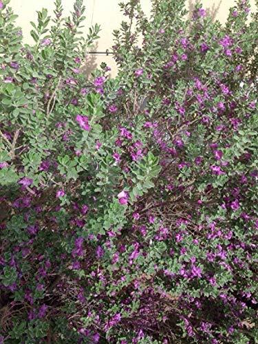 Texas Ranger - Leucophyllum frut. Compacta Live Plant Fit 1 Gallon Pot Garden