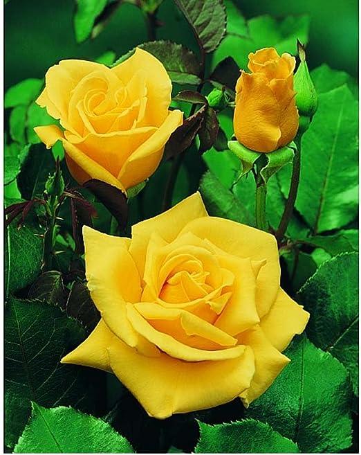 Fiori Gialli Profumati.1 Pianta Piante Di Rosa Sunsilk Produce Fiori Gialli Profumati