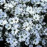 Snow-In-Summer (Cerastium tomentosum L.) Flower Plant Seeds, Perennial Silver Heirloom by theseedsmaster